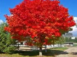 Deciduous Trees Available From Big Trees Nelson New Zealand