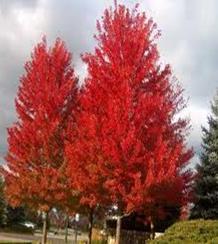 Acer Autumn Blaze Big Trees Nelson New Zealand