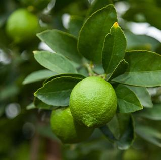 Citrus lime 39 bearss tahitian 39 big trees nelson new zealand for Buy a lemon tree plant