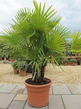 trachycarpus fortunei big trees nelson new zealand. Black Bedroom Furniture Sets. Home Design Ideas